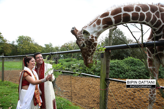 asian wedding pictures of couple feeding the giraffes at whipsnade zoo