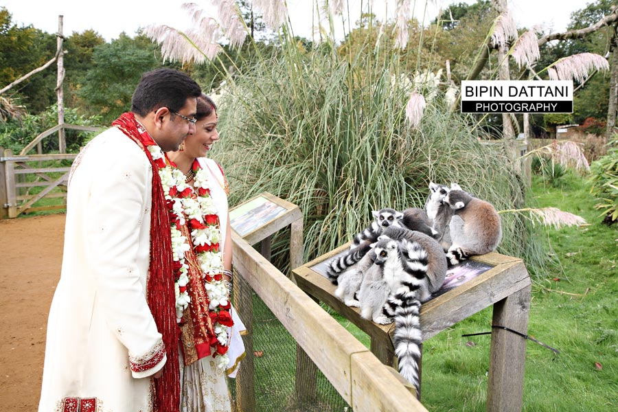 indian couples post wedding portraits with animals at bedfordshire zoo